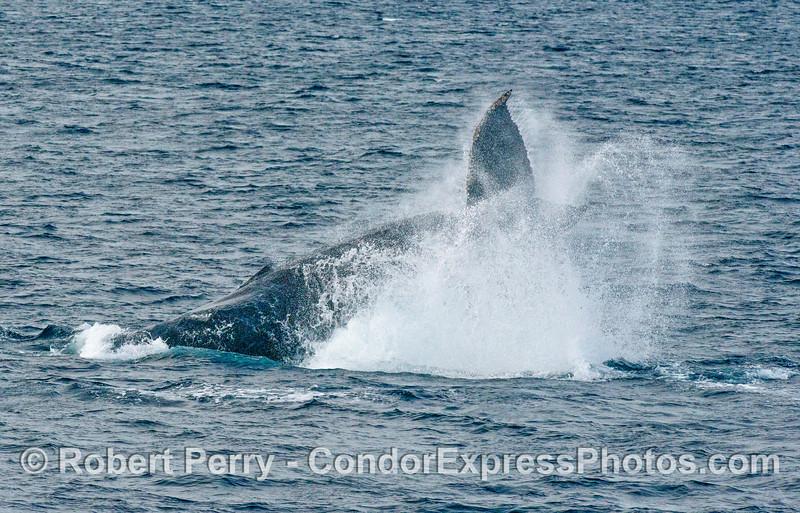 Humpback whale tail throw-3