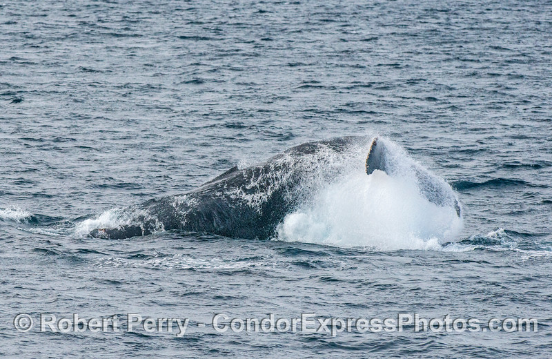 Humpback tail throw - 2