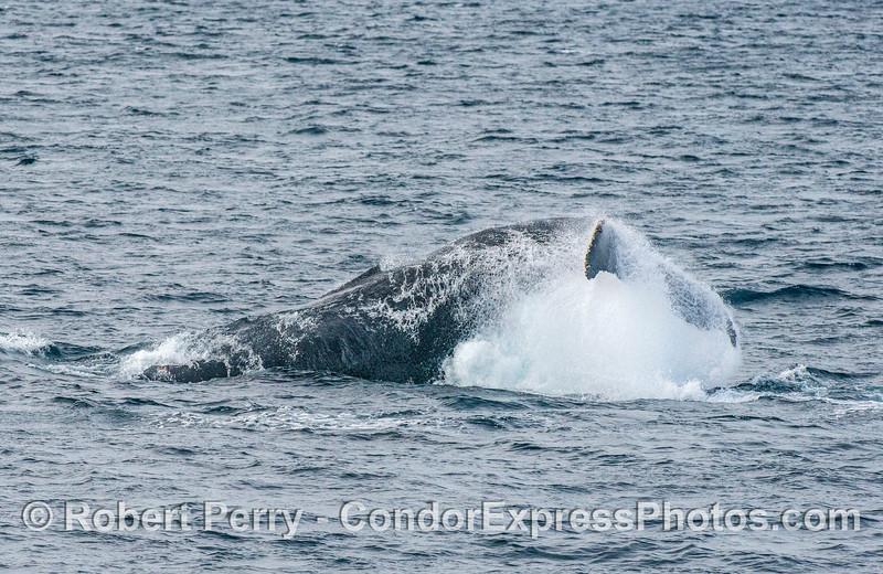 Humpback tail throw - 2