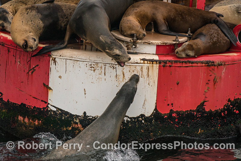 Sea lions battle for prime real estate on the harbor entrance buoy.