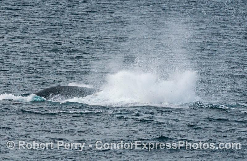 Humpback whale tail throw-5