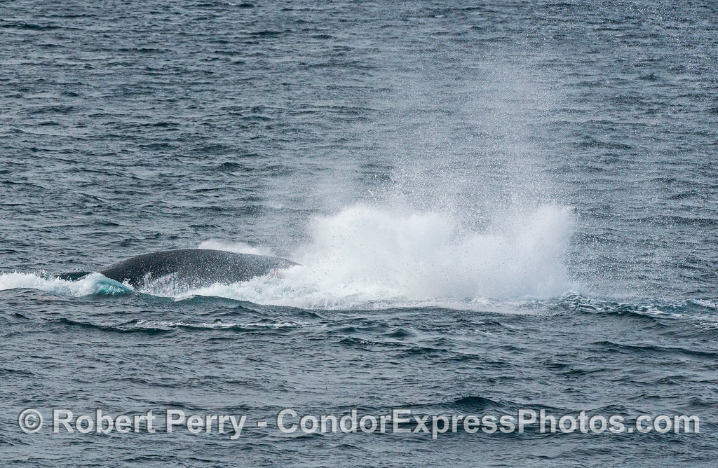 Humpback whale tail throw-5