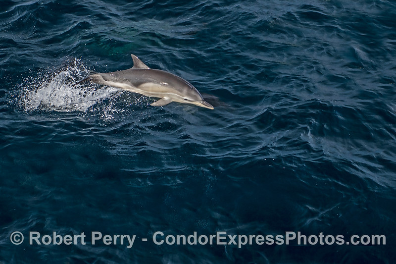 A leaping juvenile long-beaked common dolphins.  Remnants of its fetal folds are still visible but barely.