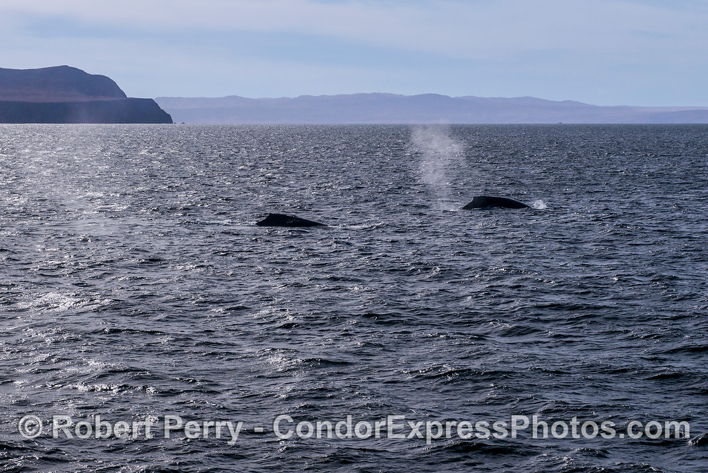 Two humpback whales with Santa Rosa Island (right) and Santa Cruz Island (left) in the background.