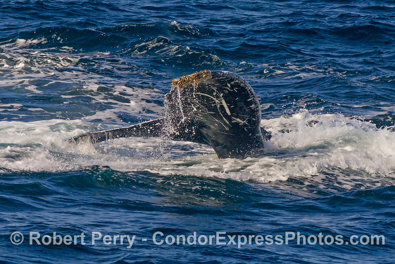 Humpback whale tail flukes tilted slightly for a dive-and-turn maneuver.