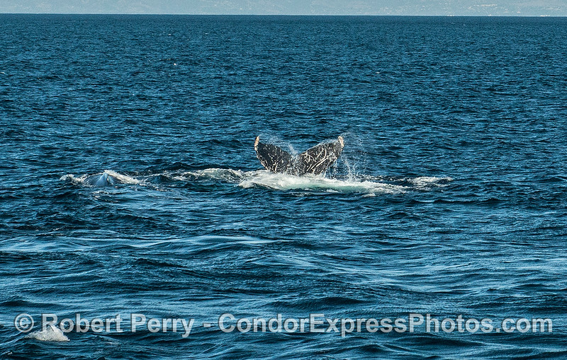 Two humpback whales and one tail fluke which was last seen in Monterey 11/2008.
