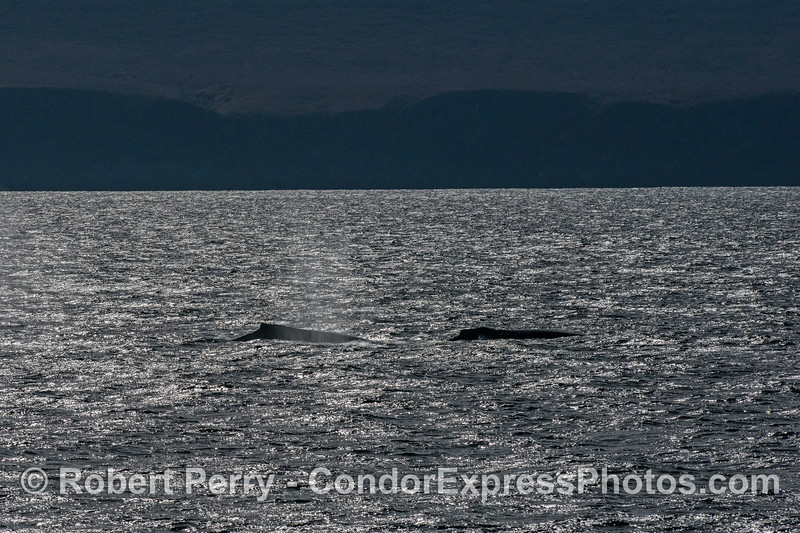 Two humpback whales in the warm afternoon sun.