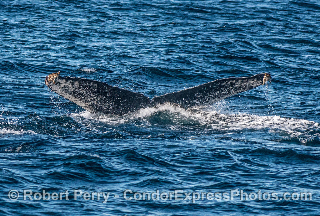 Humpback whale tail flukes.  An un-named humpback CRC-10404.   First recorded from Monterey Bay on 09/05/2011