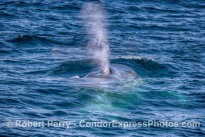 Blue whale spouts close up.
