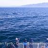 A giant blue whale and its fan club with beautiful Santa Cruz Island in back.