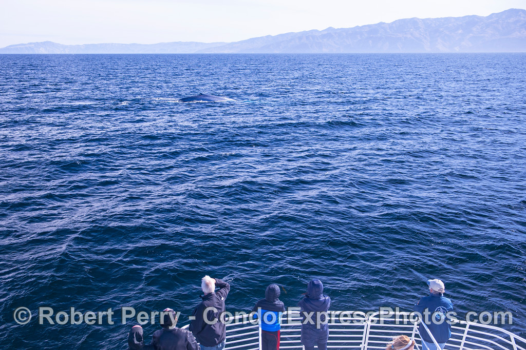 A giant blue whale and its fan club with beautiful Santa Cruz Island in back.