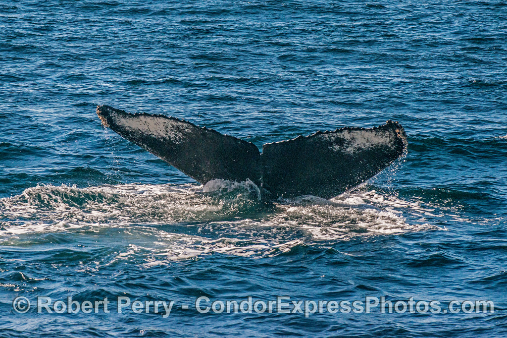 Another individual humpback with a different tail color pattern.