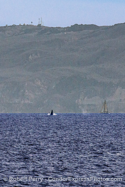 A tall photo showing the SCARF facility on top of the mountain, a breaching humpback plus the spout spray from a second whale, plus a luck sailboat nearby.