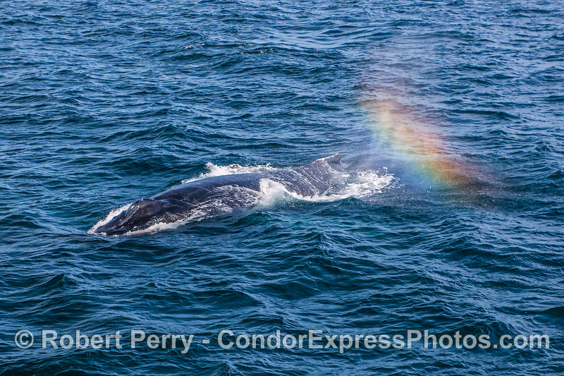 Humpback whale with lucky rainbow spout spray.