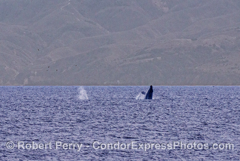 Two humpbacks, one breaching.
