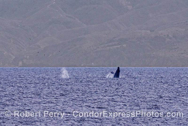 Two humpbacks, one breaching.