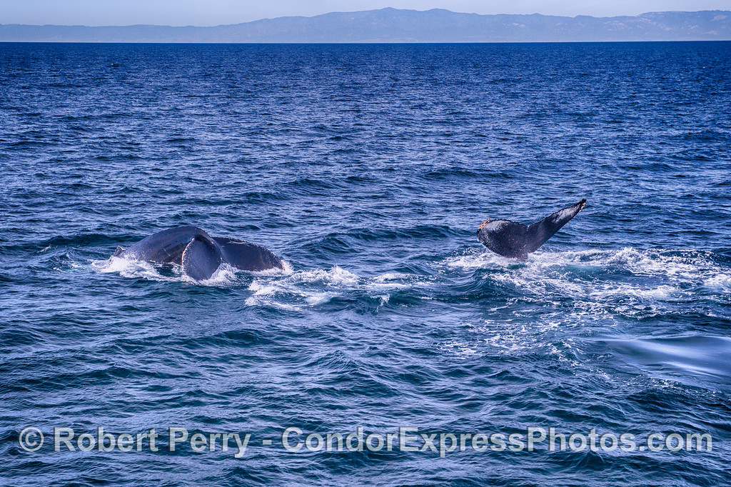 Twin humpback whale tail flukes.