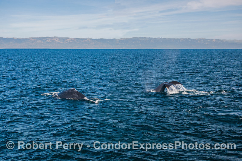 Santa Cruz Island and two humpback whales.