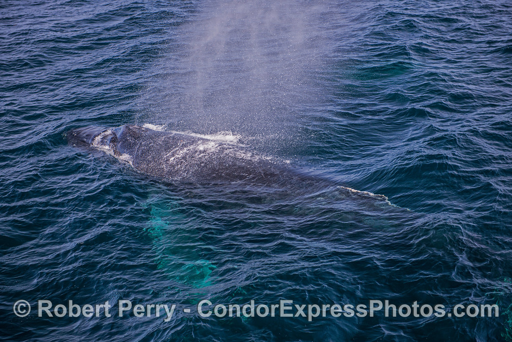 A nice view of a white-pectoral fin humpback whale.