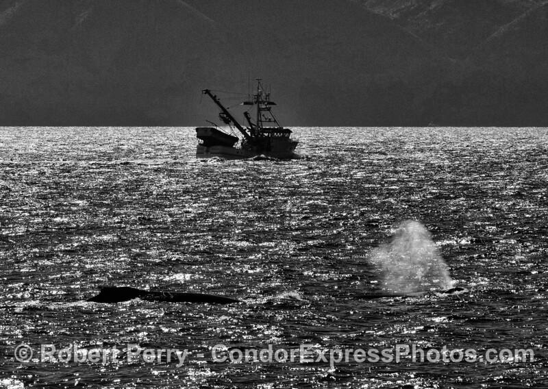 Silhouette:  squid seiner and two humpback whales near Santa Cruz Island.