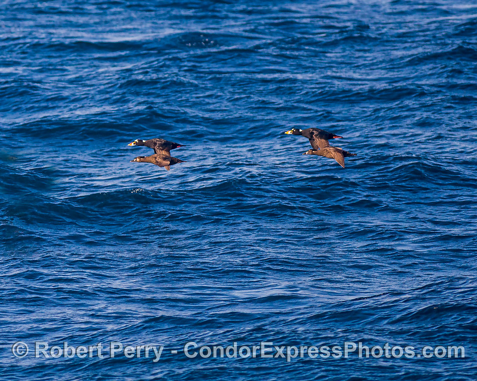 Two male-female pairs of surf scoters.