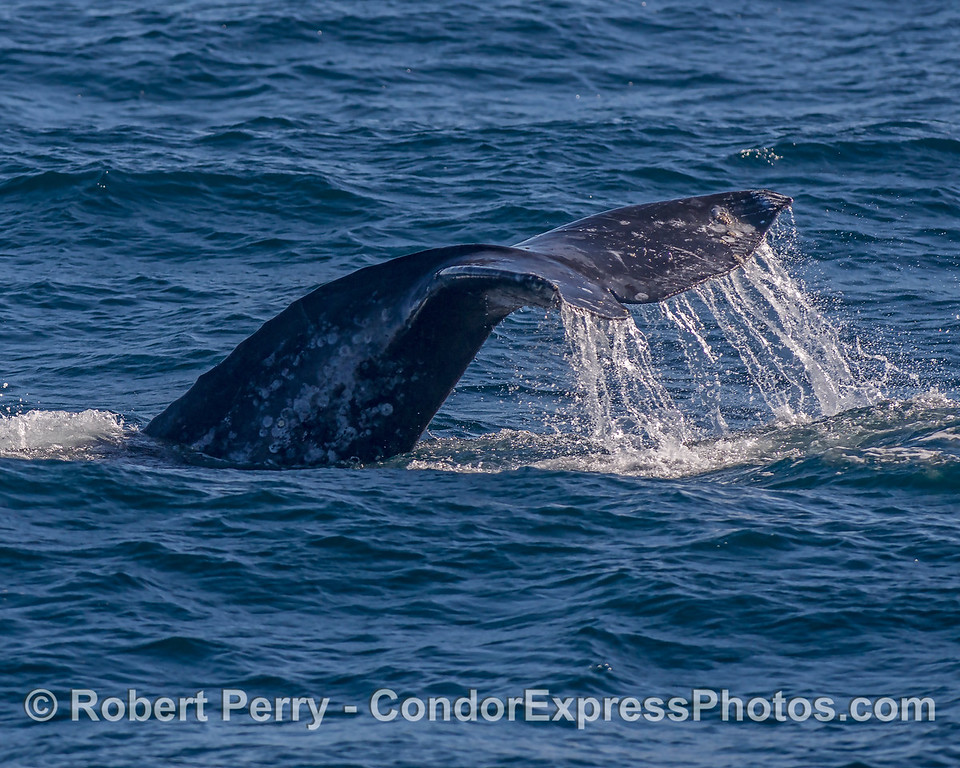 Gray whale tail flukes - waterfall