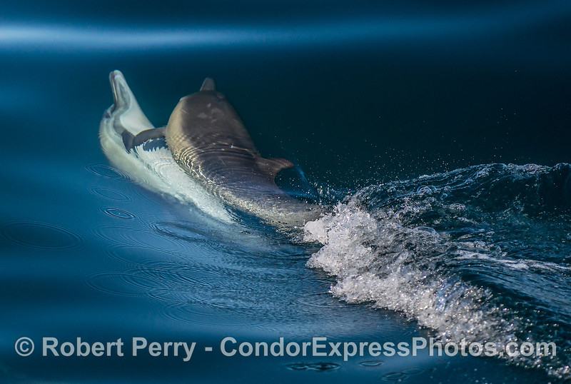 Long-beaked common dolphin courtship