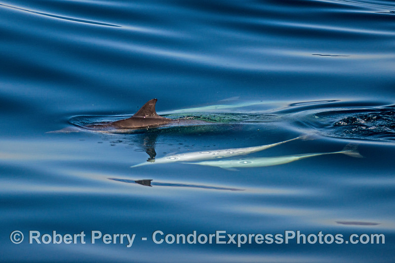 Three long-beaked common dolphins, a male (bottom) may be experiencing rejection by a female (second from bottom).