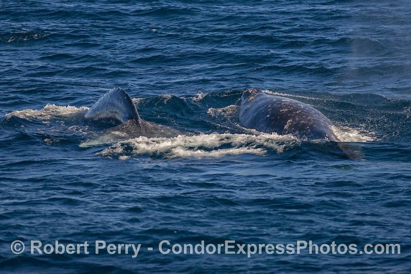 Gray whale pair