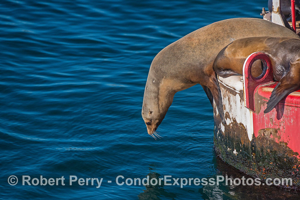 A large California sea lion makes a long and careful exit into the water.