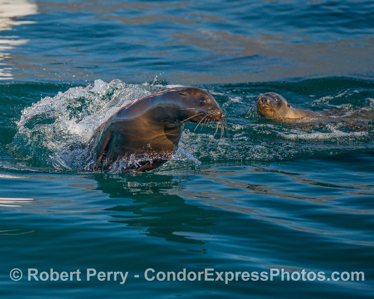 Two young California sea lions are seen cavorting.