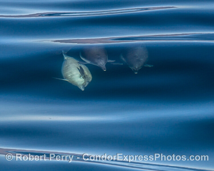 Three Long-beaked common dolphins - a large bull male may be attempting to show its dominance.