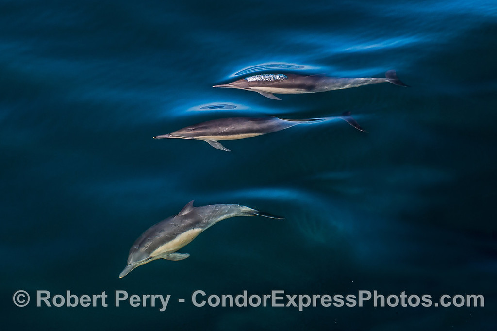 A trio of long-beaked common dolphins underwater