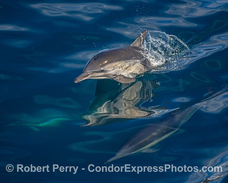 A glassy surface reflects a leaping long-beaked common dolphin.