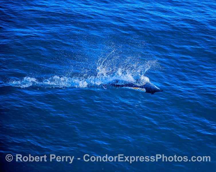 A high speed Dall's porpoise.
