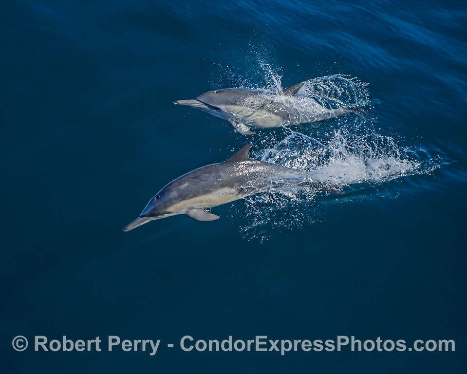 A pair of long-beaked common dolphins.