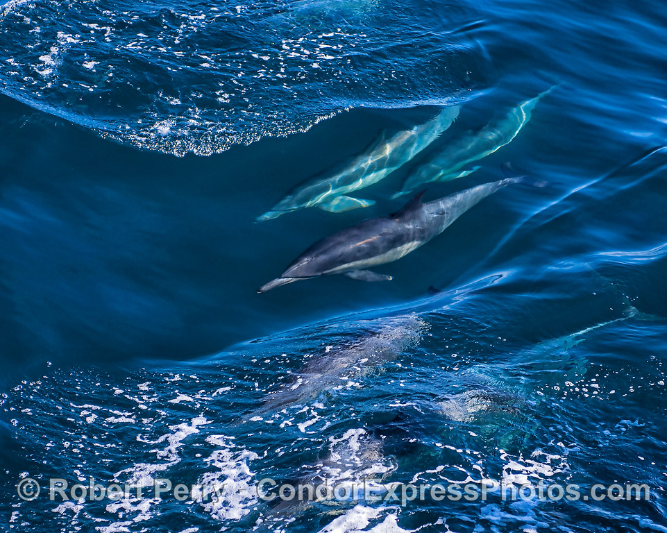 Three long-beaked common dolphins seen inside a wave window.