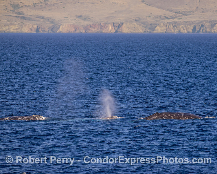 A trio of gray whales with the western slopes of Santa Cruz Island in back.
