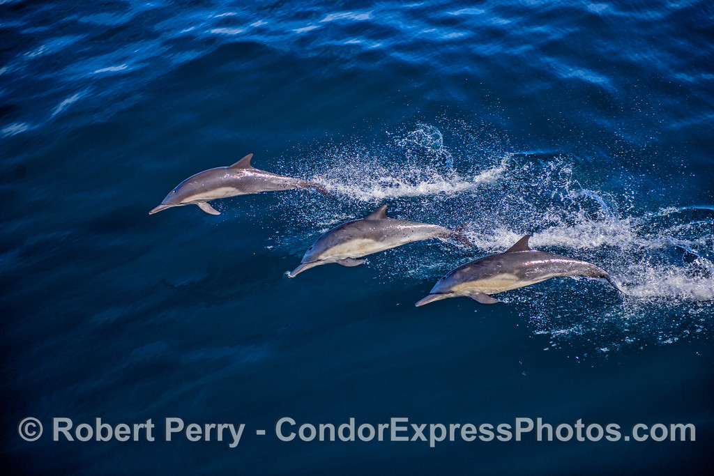 A trio of leaping long-beaked common dolphins.