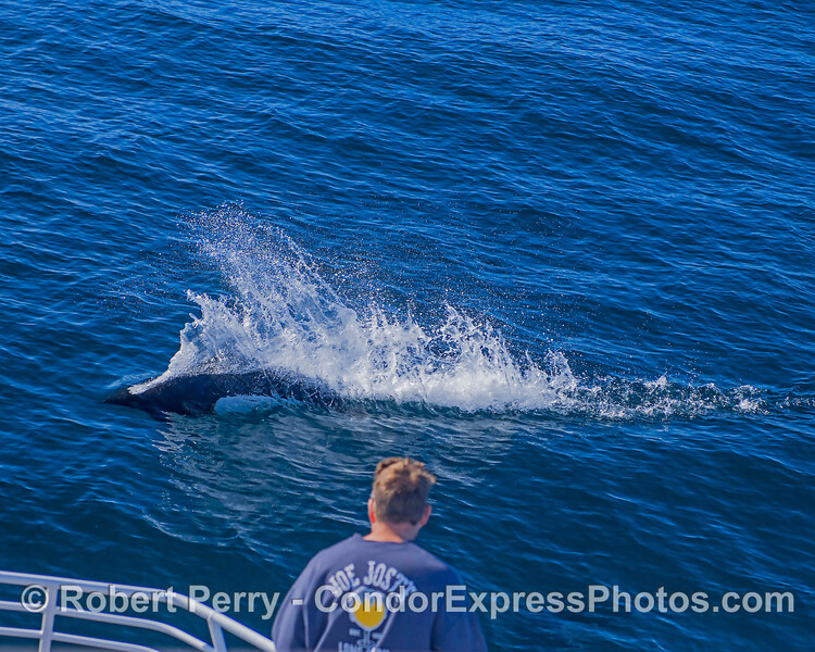 A porpoise lover gets a close up look at a high speed Dall's.