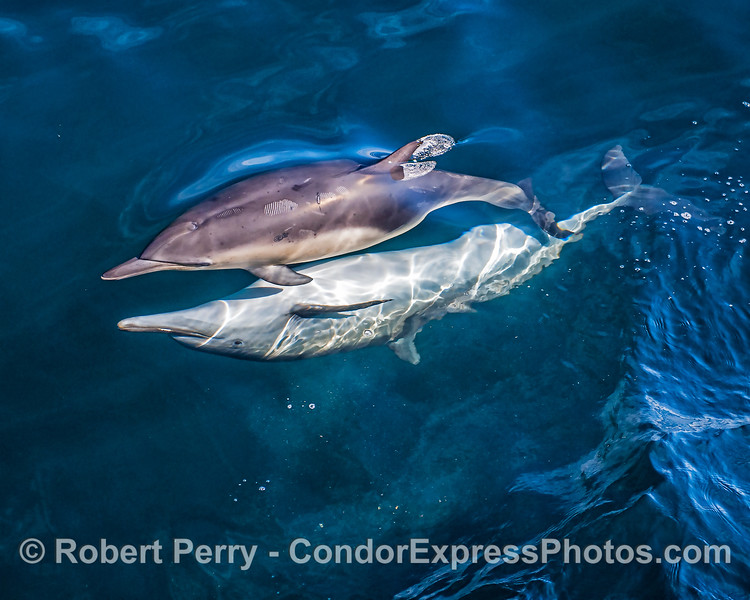 Mating long-beaked common dolphins: a somewhat larger male with a smaller female.