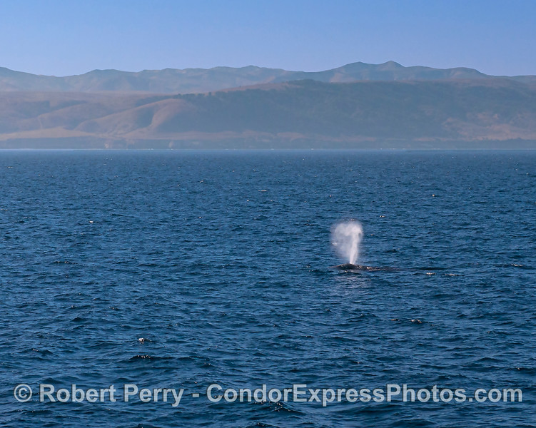 Gray whale near Santa Rosa's eastern end.