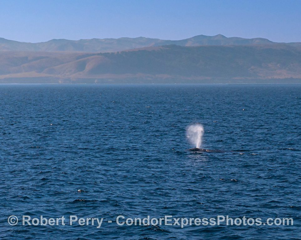 Gray whale near Santa Rosa's eastern end.