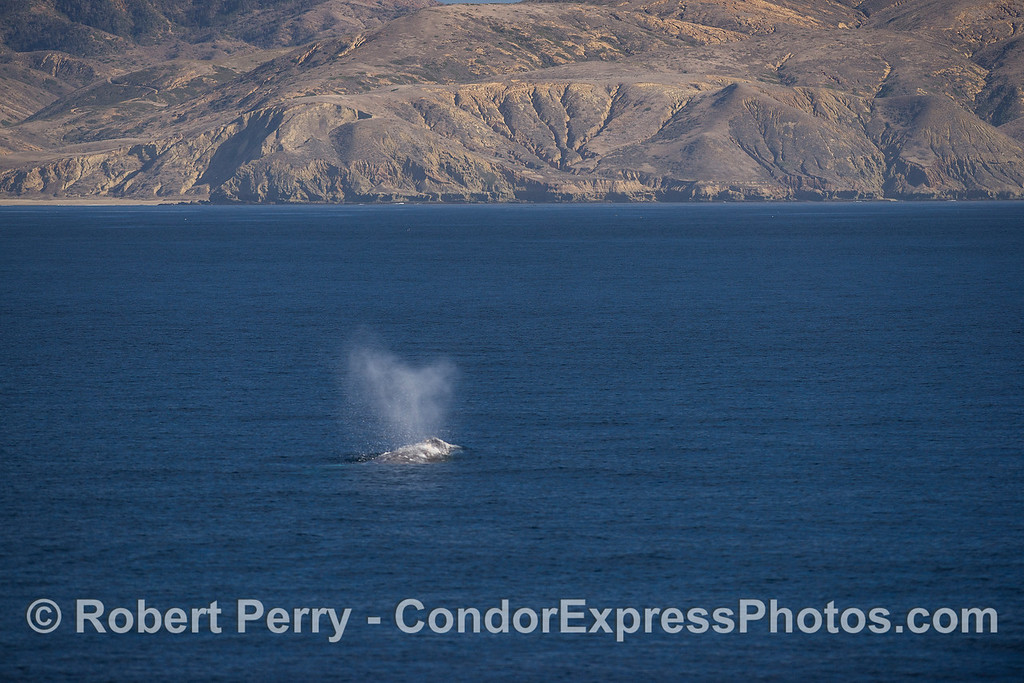 A southbound migratory gray whale is seen near Santa Cruz Island.