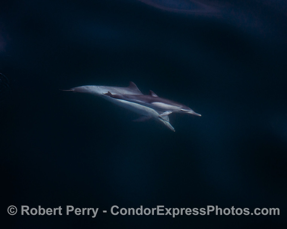 Mother and her calf - long-beaked common dolphins - seen underwater.