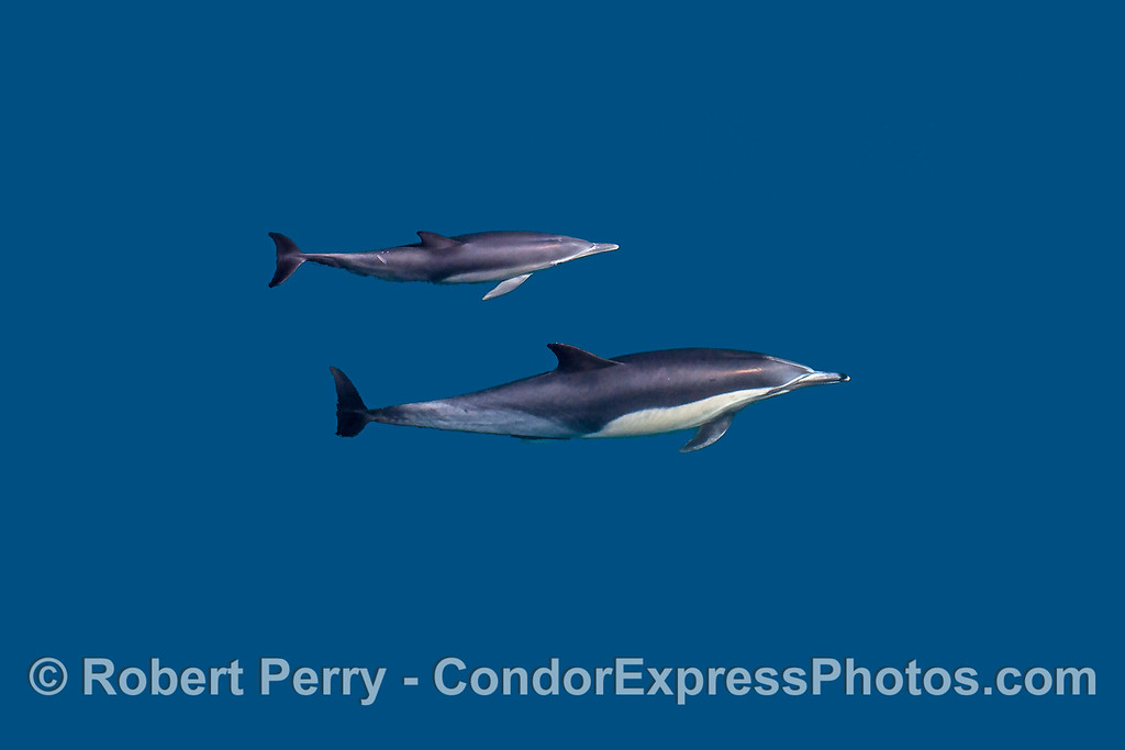 Mother and her calf:  long-beaked common dolphins.