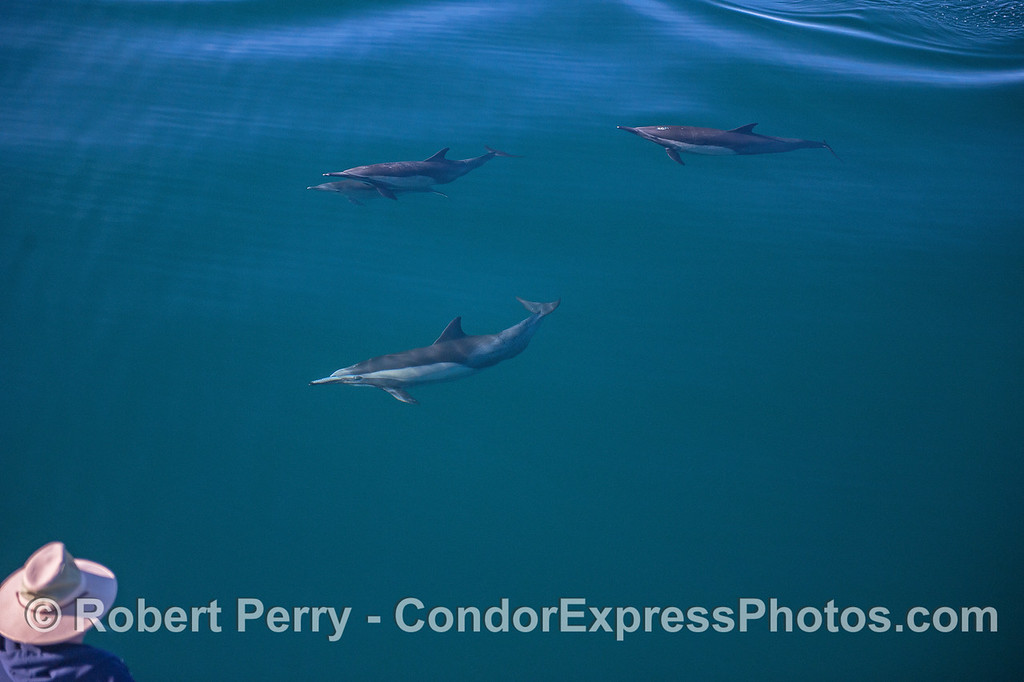 Man with a hat attracts some curious long-beaked common dolphins.