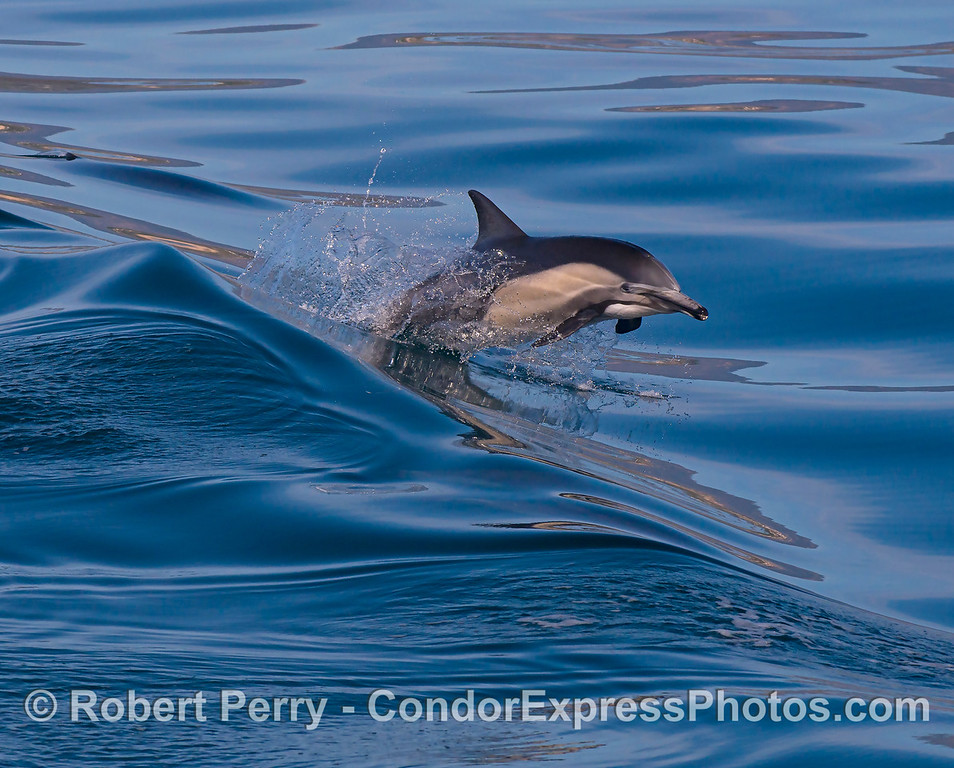 An adult long-beaked common dolphin leaps across a mirror glassy wave.