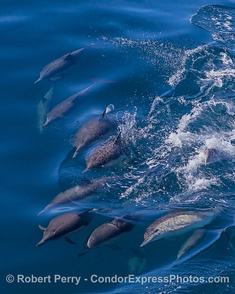 Dolphin pandamodium.