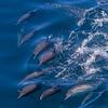 Dolphin pandamodium.